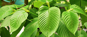 DEA Drops Proposed Kratom Scheduling Action, Seeks FDA Guidance