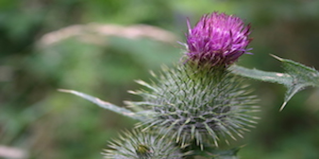The Humble Milk Thistle: An Intervention for Liver Disease?